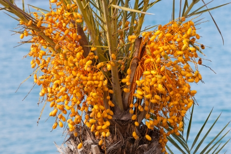 Agricultural date palm tree with clusters of still unripe yellow fruit crop close-up photo