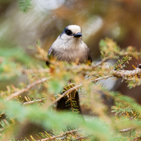 curiously: Whiskey Jack or Grey Jay, Perisoreus canadensis, perched on spruce tree branch watching curiously Stock Photo