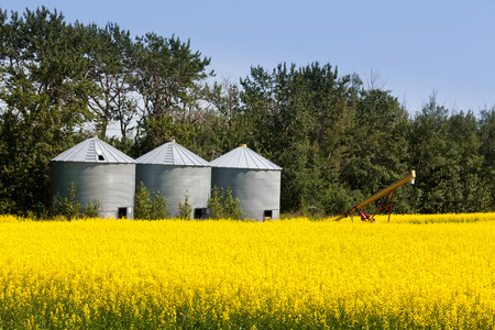 flowering field: Three round metal silos in agricultural field with a crop of colourful yellow rapeseed canola