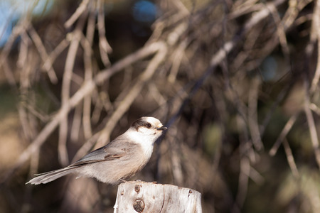curiously: Whiskey Jack or Grey Jay, Perisoreus canadensis, perched watching curiously