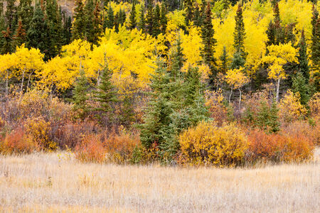 boreal: Colorful golden yellow autumn fall boreal forest taiga tree vegetation, Yukon Territory, Canada