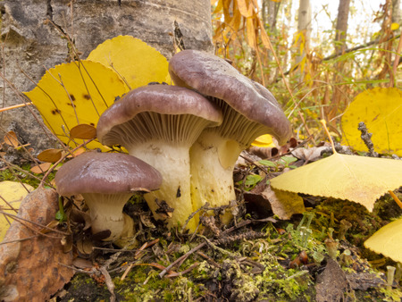 fungi: Edible mushroom Slimy Spike-cap, Gomphidius glutinosus, growing at base of aspen tree among yellow fall leaves on mossy forest floor