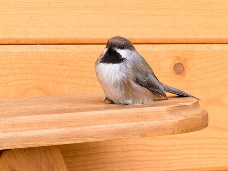 boreal: Boreal Chickadee, Poecile hudsonicus, small passerine bird of tit family Paridae sitting on wood lumber