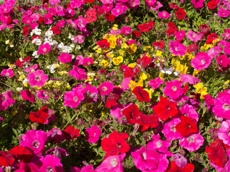 Colorful horticulture flower background pattern texture, multi-colored petunias and other flowers in garden bed