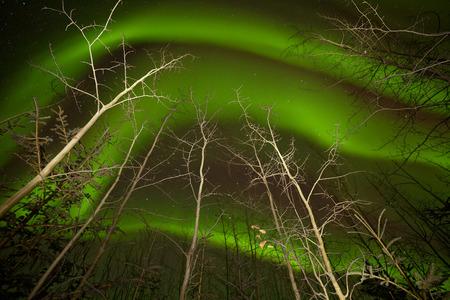 Intense green northern lights swirls or Aurora borealis dancing on starry night sky over boreal forest taiga bare aspen trees, Yukon Territory, Canada