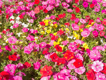 Colorful horticulture flower background pattern texture, multi-colored petunias and other flowers in garden bed photo