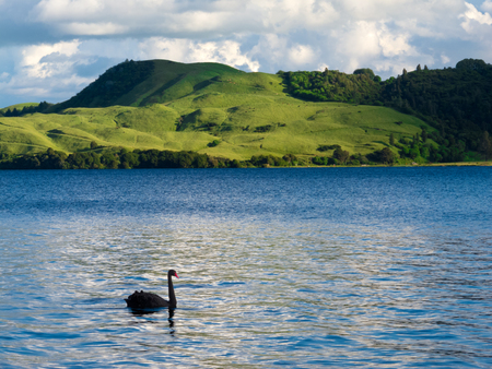 cygnus atratus: Black Swan, Cygnus atratus, on blue water of Lake Okatania, North Island of New Zealand