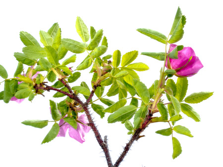 specimen: Prickly Wild Rose, Rosa acicularis, blooming flower plant isolated on white background