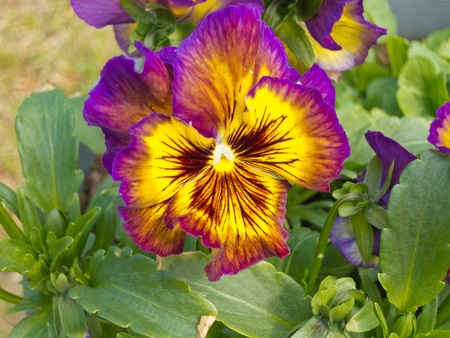 Close-up colorful flower of pansy plant, Viola tricolor, in garden bed