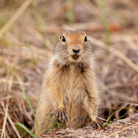 curiously: Cute Arctic ground squirrel, Urocitellus parryii, curiously emerging from its burrow Stock Photo