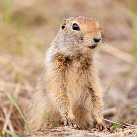 Cute Arctic ground squirrel, Urocitellus parryii, curiously emerging from its burrow Stock Photo - 27780946