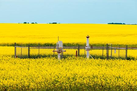 노란색 피 카 놀라 유채 농장에서 천연 가스 웰 헤드 앨버타, 캐나다의 농업 농지