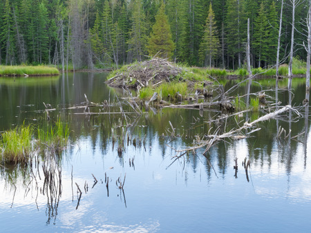 burrow: Beaver  Castor canadensis  lodge den home in boreal forest  taiga  wetlands of Alberta  foothills to Rocky Mountains  made from lots of sticks and mud Stock Photo