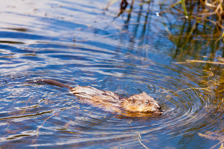 swampy: Semiaquatic rodent Muskrat, Ondatra zibethicus, swimming in favorite habitat on surface of swampy pond