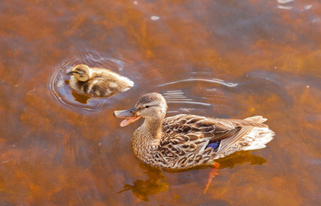 Mallard, Anas platyrhynchos, duckling swimming with its mother in shallow water, high angle close up view with the mother duck quacking Stock Photo