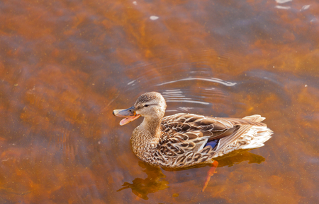 platyrhynchos: Mallard, Anas platyrhynchos, swimming in shallow water, high angle close up view with duck quacking bill wide open Stock Photo