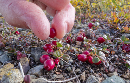 alpine tundra: Harvest of ripe red low-bush cranberries, lingonberry, or partridgeberry, Vaccinium vitis-idaea, with bare fingers in alpine tundra