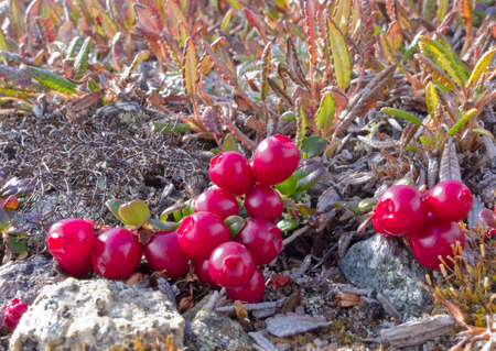 Ripe red low-bush cranberries, lingonberry, or partridgeberry, Vaccinium vitis-idaea, on dwarfed plants in alpine tundra Zdjęcie Seryjne