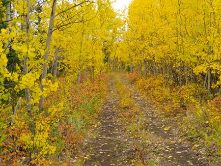 boreal: A Trail leads deeper into autumn fall boreal forest taiga (aspen, Populus tremuloides) in Yukon Territory, Canada.