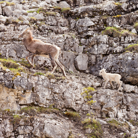 ovis: Female Stone Sheep, Ovis dalli stonei, or thinhorn sheep leading its lamb up rocky mountain terrain, wildlife of northern Canadian Rocky Mountains, British Columbia, Canada