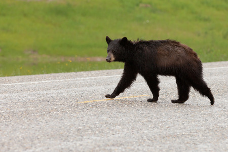 wet bear: Young American Black Bear, Ursus americanus, with wet fur crossing highway road pavement