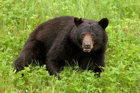 oso negro: Joven estadounidense Oso Negro, Ursus americanus, descansando en una exuberante hierba verde pradera Foto de archivo