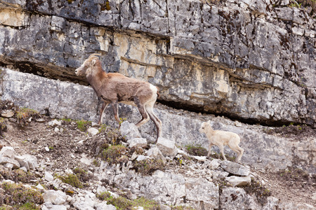 subspecies: Female Stone Sheep, Ovis dalli stonei, or thinhorn sheep leading its lamb up rocky mountain terrain, wildlife of northern Canadian Rocky Mountains, British Columbia, Canada