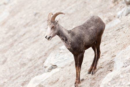 curiously: Young male Stone Sheep, Ovis dalli stonei, or thinhorn sheep ram standing on steep mountain side curiously watching, wildlife of northern Canadian Rocky Mountains, British Columbia, Canada