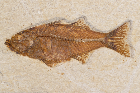 mineralized: Fossilized skeleton of prehistoric fish fossil in sandestone matrix rock