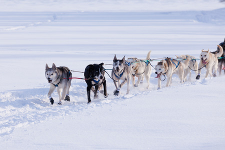 yukon: Team of enthusiastic sled dogs pulling hard to win the Yukon Quest sledding race