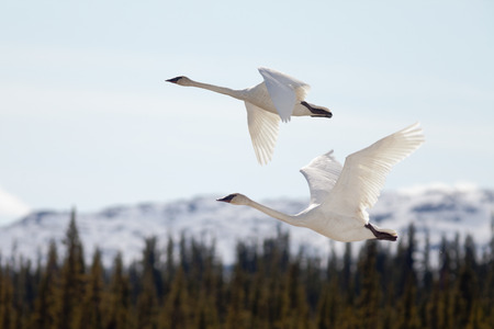 trumpeter: Graceful mating pair of adult white trumpeter swans, Cygnus buccinator, flying over forest with their necks extended as they migrate to their arctic nesting grounds with copyspace