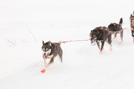 sled dogs: Team of enthusiastic sled dogs pulling hard to win the Yukon Quest sledding race
