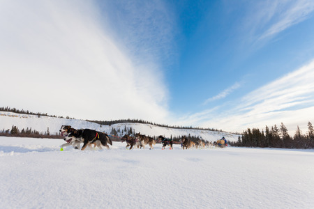mushing: Team of enthusiastic sled dogs pulling hard to win the Yukon Quest sledding race