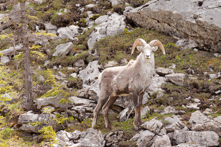 curiously: Male Stone Sheep, Ovis dalli stonei, or thinhorn sheep ram standing on steep rocky mountain slope curiously watching, wildlife of northern Canadian Rocky Mountains, British Columbia, Canada