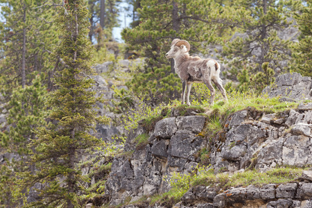 subspecies: Male Stone Sheep, Ovis dalli stonei, or thinhorn sheep ram standing proud on rock cliff curiously watching, wildlife of northern Canadian Rocky Mountains, British Columbia, Canada Stock Photo