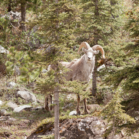 curiously: Male Stone Sheep, Ovis dalli stonei, or thinhorn sheep ram standing in mountain forest curiously watching, wildlife of northern Canadian Rocky Mountains, British Columbia, Canada