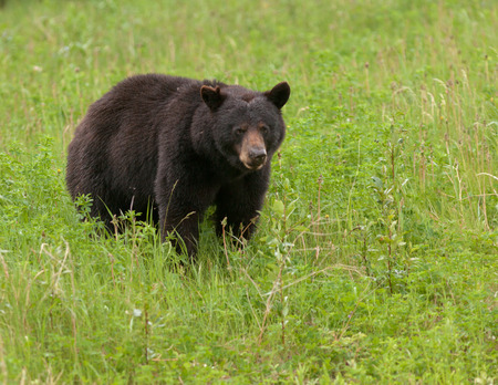 Young American Black Bear, Ursus americanus, foraging lush green grass meadow