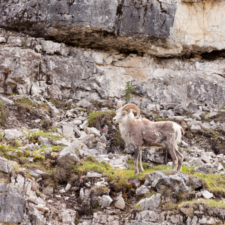 curiously: Male Stone Sheep, Ovis dalli stonei, or thinhorn sheep ram climbing up rocky cliff curiously watching, wildlife of northern Canadian Rocky Mountains, British Columbia, Canada