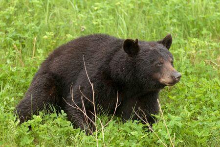 ursus americanus: Young American Black Bear, Ursus americanus, resting in lush green grass meadow Stock Photo