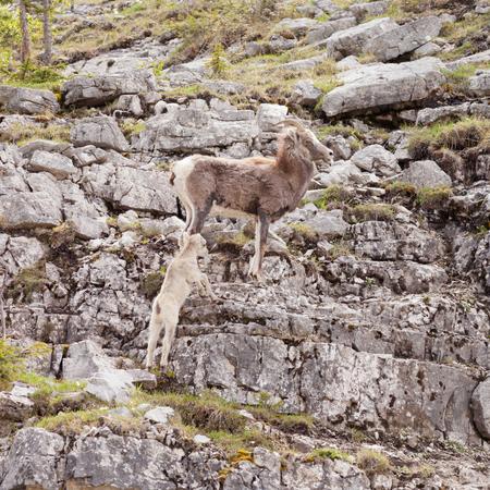 ovis: Female Stone Sheep, Ovis dalli stonei, or thinhorn sheep guarding its lamb climbing up rocky mountain terrain, wildlife of northern Canadian Rocky Mountains, British Columbia, Canada