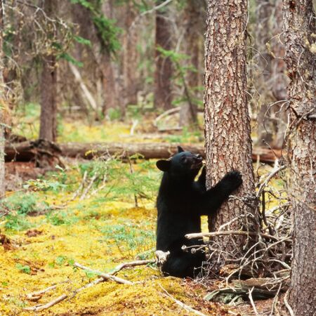 boreal: Young yearling Black Bear, Ursus americanus, sitting playful at tree trunk in Yukon Territory, Canada, boreal forest taiga
