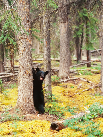 brash: Young yearling Black Bear, Ursus americanus, sitting playful at tree trunk in Yukon Territory, Canada, boreal forest taiga