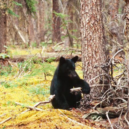 ursus americanus: Young yearling Black Bear, Ursus americanus, sitting playful at tree trunk in Yukon Territory, Canada, boreal forest taiga