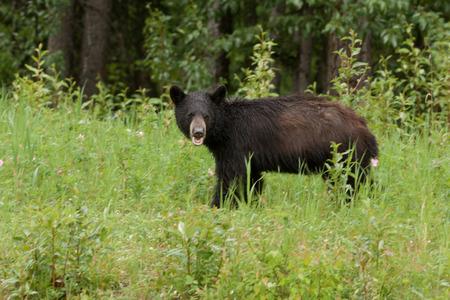 ursus americanus: Young American Black Bear, Ursus americanus, foraging lush green grass meadow