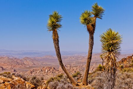 national plant: Expansive Mojave Desert vista from Ryan Mountain in Joshua Tree National Park, California, USA
