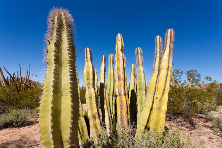 pleated: Senita Cactus, Lophocereus schottii, pleated multi-arm columnar cactus of Sonoran Desert, Arizona, USA Stock Photo