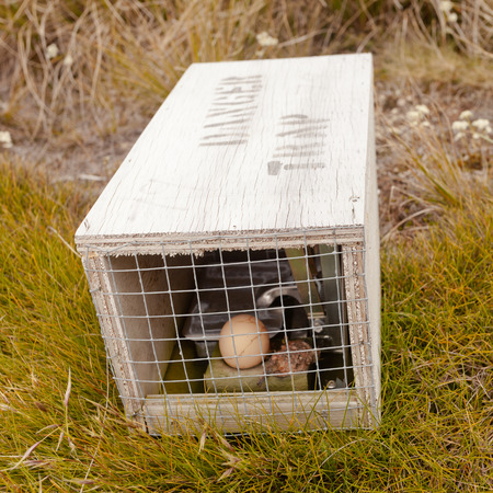 dead rat: Baited small animal trap used for rat and stoat control with written warning for humans Stock Photo