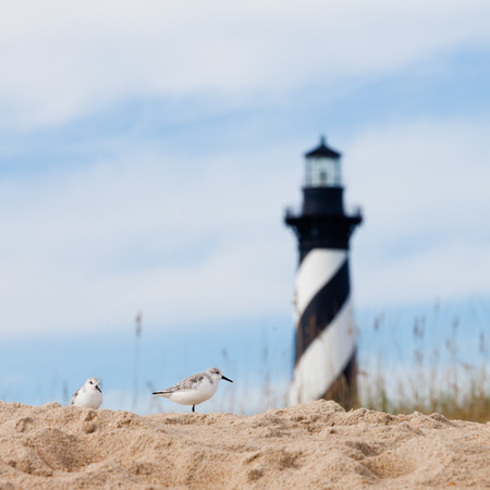 hatteras: Sanderlings, Calidris alba, shore birds with Cape Hatteras Lighthouse behind dunes of Outer Banks island near Buxton, North Carolina, US Stock Photo