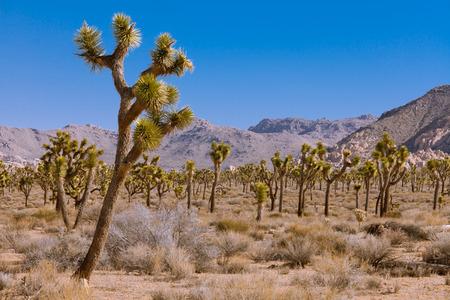 joshua tree: Palm Tree Yuccas or Joshua Trees, Yucca brevifolia, in Joshua Tree National Park, California, USA