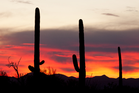 sonoran: Sonoran Desert sunset with iconic Saguaro columnar cacti, Carnegiea gigantea, Arizona, USA Stock Photo